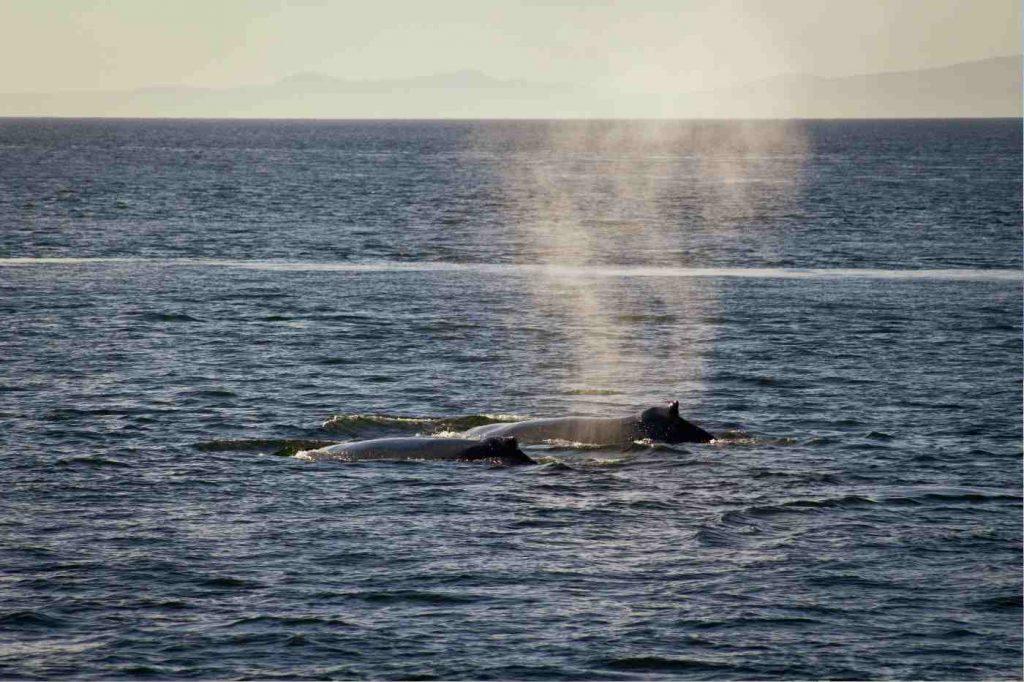 Avistamiento ballenas en Canada